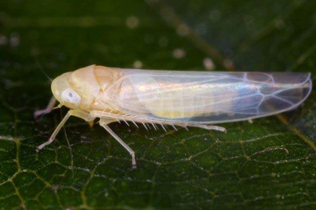 Розанная цикадка – Edwardsiana rosae