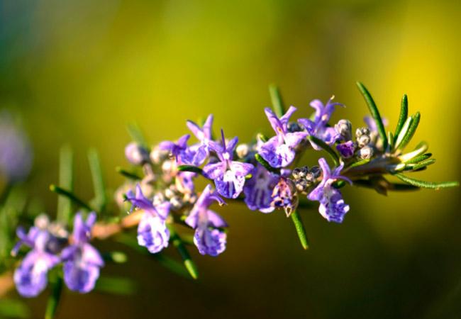 Розмарин цветы