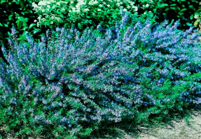 Розмарин фото растения