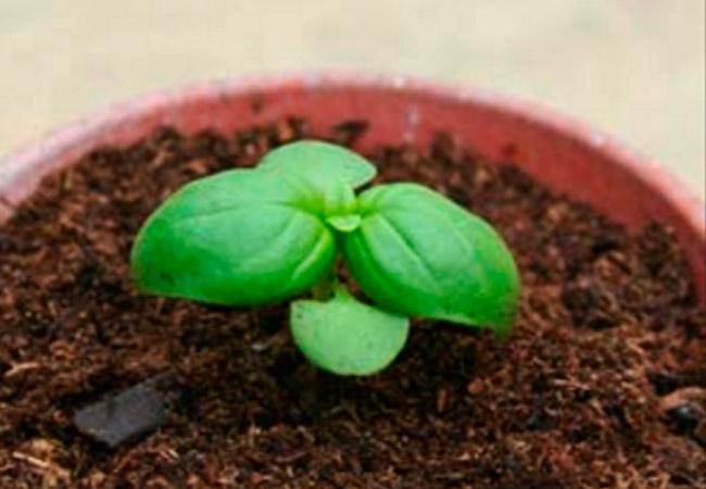 Как выращивать базилик в открытом грунте