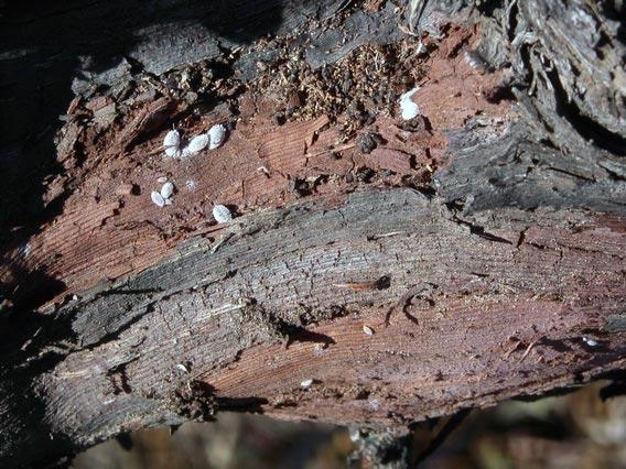 Виноградный мучнистый червец под корой - Planococcus ficus