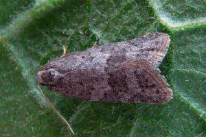 Злаковая листовертка - Cnephasia pascuana