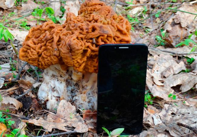Строчок гигантский - Gyromitra gigas: фото гриба