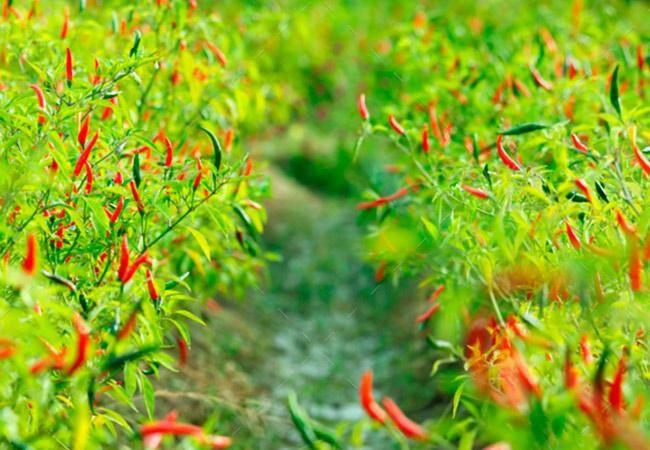 Как посадить семена красного перца