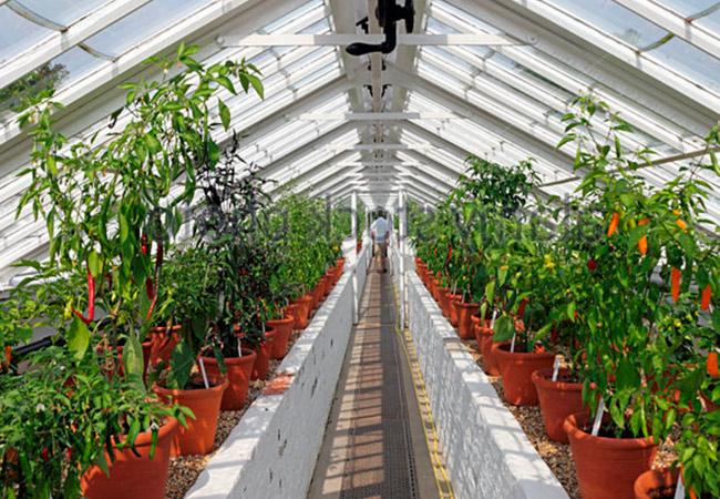 Перец чили: выращивание в теплице