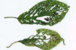 Клястероспориоз косточковых – Clasterosporium carpophilum