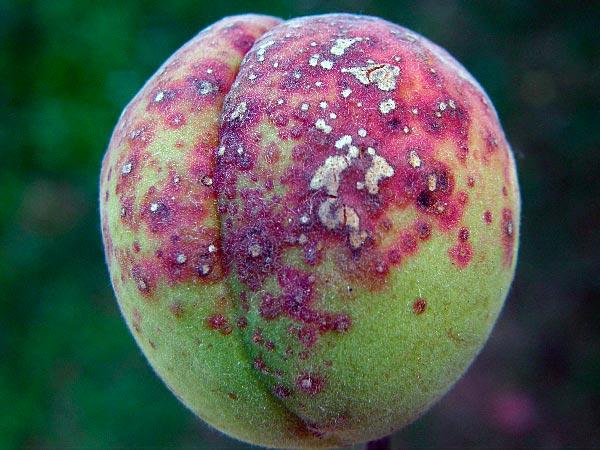 Клястероспориоз косточковых на персике – Clasterosporium carpophilum