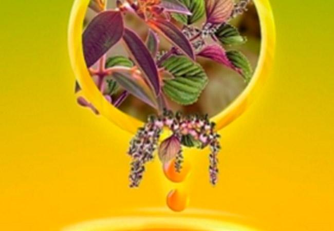 Косметические свойства масла периллы