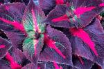 Растение перилла