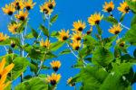 Полезные свойства и противопоказания листьев топинамбура