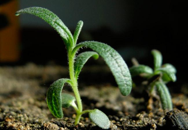 Как выращивать розмарин в открытом грунте