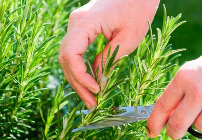 Выращивание розмарина в домашних условиях черенками