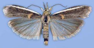 Акациевая огневка - Etiella zinckenella