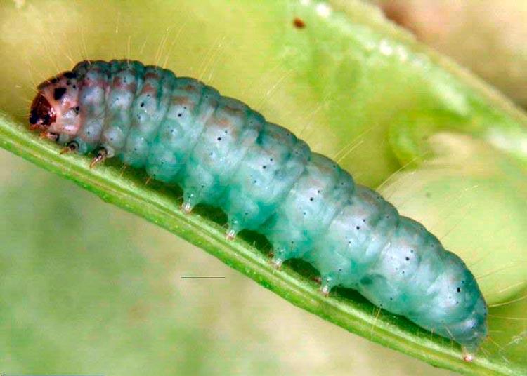 Акациевая огневка (личинка) - Etiella zinckenella