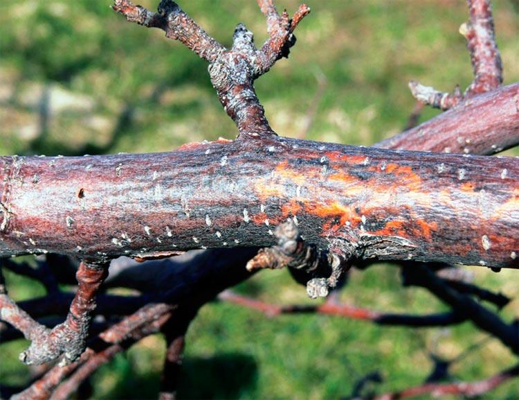 Черный рак яблони - Botryosphaeria obtusa