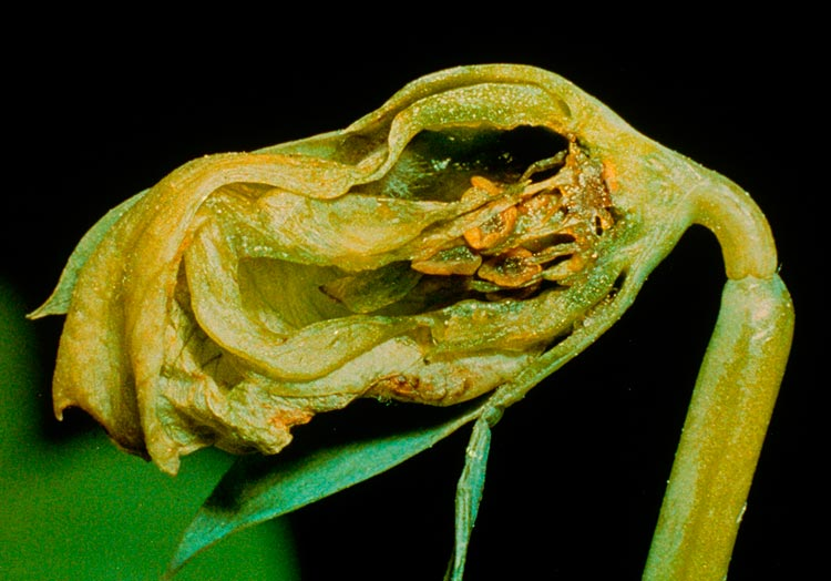 Гороховая галлица - Contarinia pisi