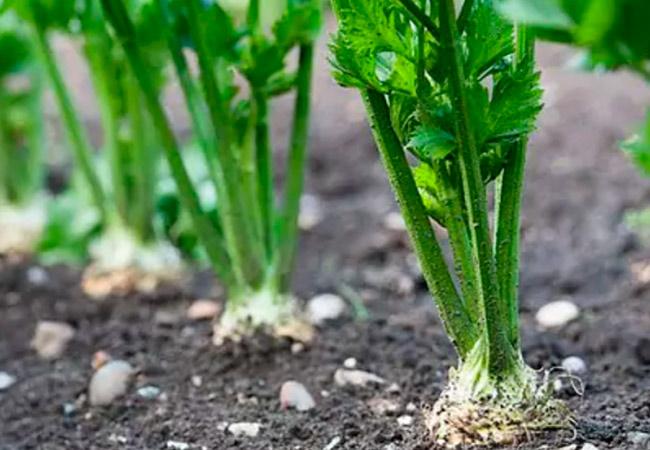 Пастернак выращивание