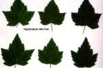 Махровость черной смородины - пораженные листья
