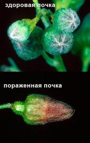 Махровость черной смородины - пораженная почка