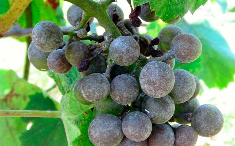 Оидиум винограда – Uncinula necator