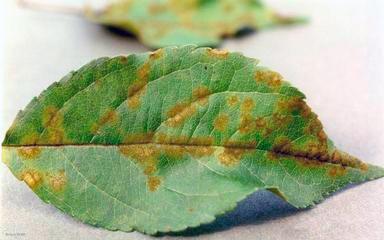 Парша яблони – Venturia inaequalis