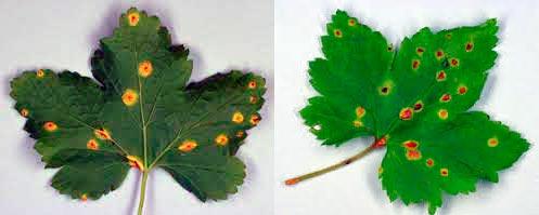 Бокальчатая ржавчина Puccinia ribesii caricis (Puccinia caricina)