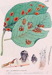 Ржавчина груши – Gymnosporangium dobrozrakovae