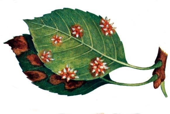 Ржавчина яблони – Gymnosporangium juniperinum