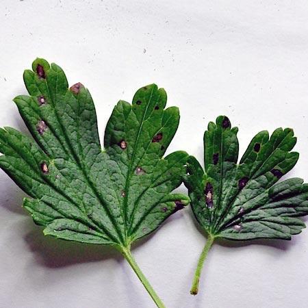 Септориоз смородины – Mycosphaerella ribis