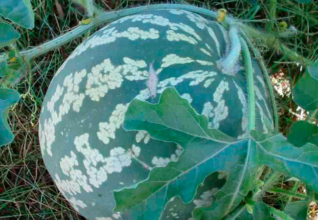 Арбуз обыкновенный, Citrullus lanatus