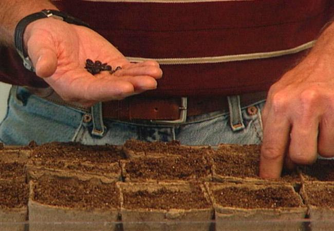 Подготовка арбузных семян