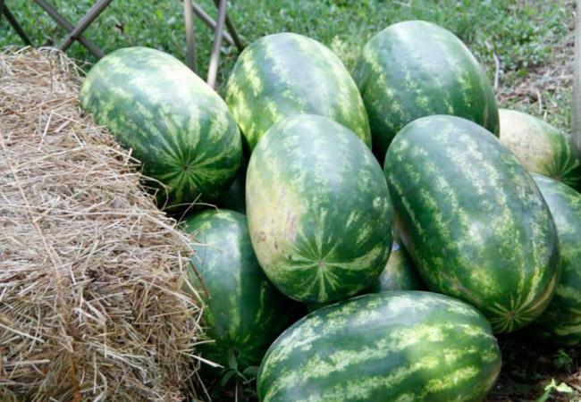 Как хранить арбузы дома: условия хранения