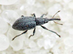 Клеверный стеблевой долгоносик - Apion seniculus