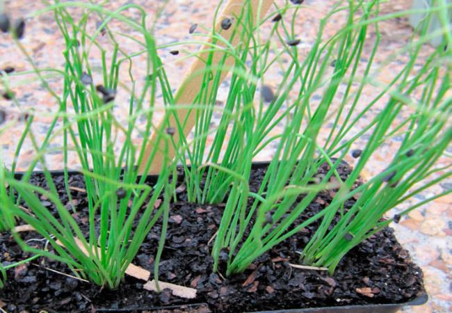 Лук декоративный как правильно посадить семена