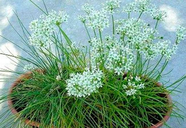 Лук душистый (китайский чеснок): выращивание из семян