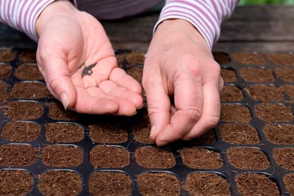 Подготавливаем землю для посева и высеваем семянки лука Глобо
