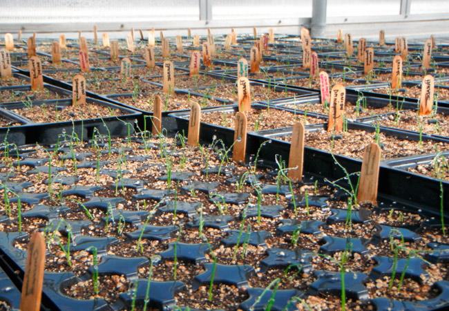 Лук Параде: выращивание в теплице