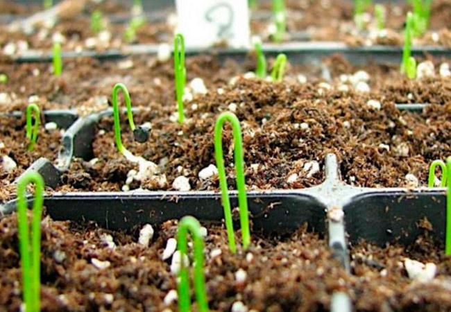 Уход за рассадой лука сорта «Халцедон»