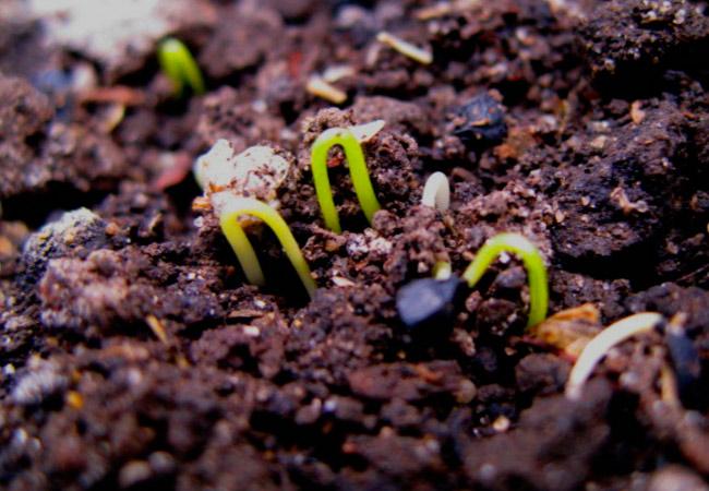 Лук «Халцедон»: выращивание из семян