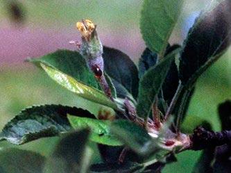 Монилиозы яблони и груши (монилиальный ожог) – Monilinia mali