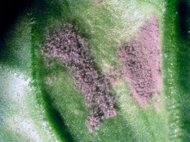 Ложная мучнистая роса свеклы – Peronospora schachtii