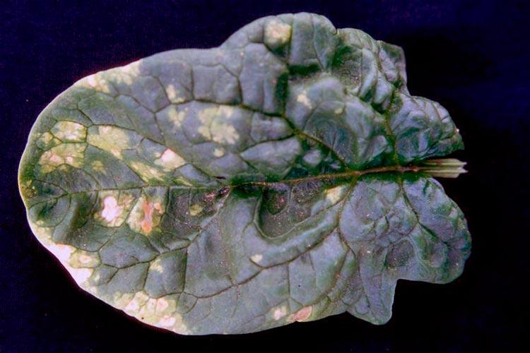 Пероноспороз свеклы – Peronospora schachtii