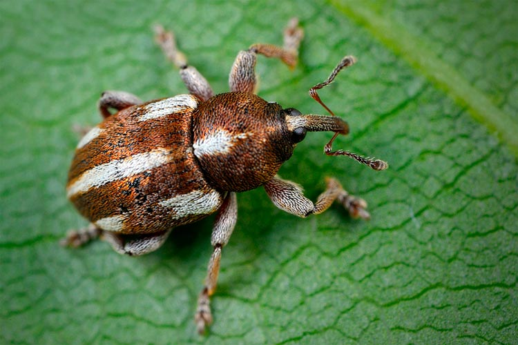 Пятиточечный долгоносик - Tychius quinquepunctatus