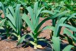 Рокамболь или лук чеснок технология выращивания