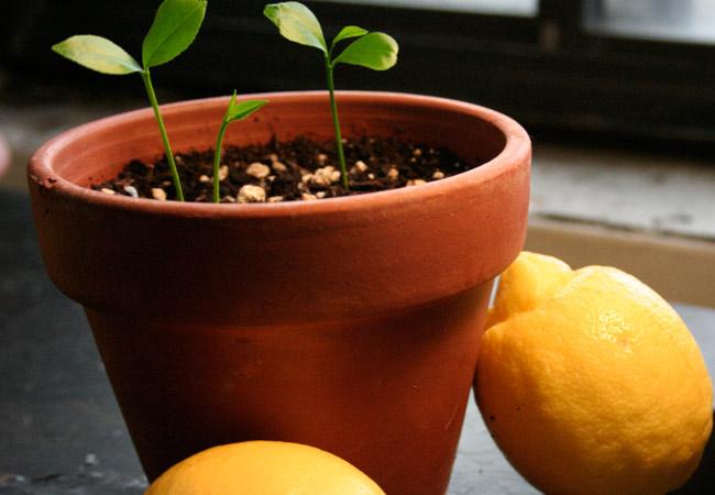 Как вырастить лимон из косточки лимонное дерево в