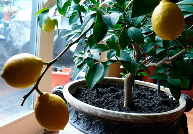 Уход за взрослым лимоном