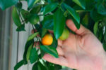 Как привить комнатный лимон