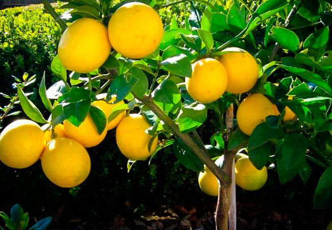 Комнатный лимон польза и вред