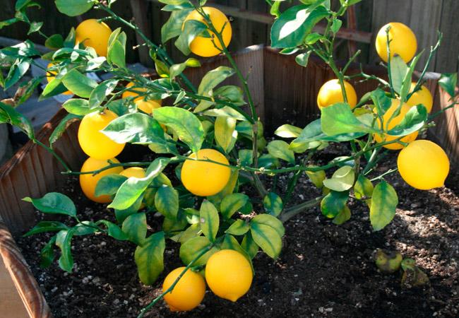 Польза лимона в косметологии