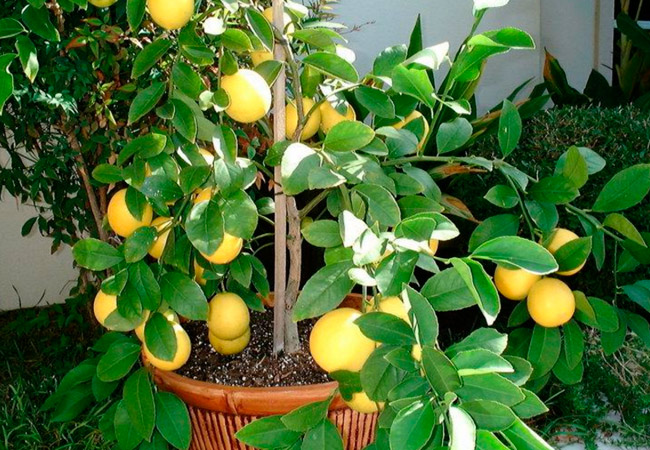 Комнатный лимон виды